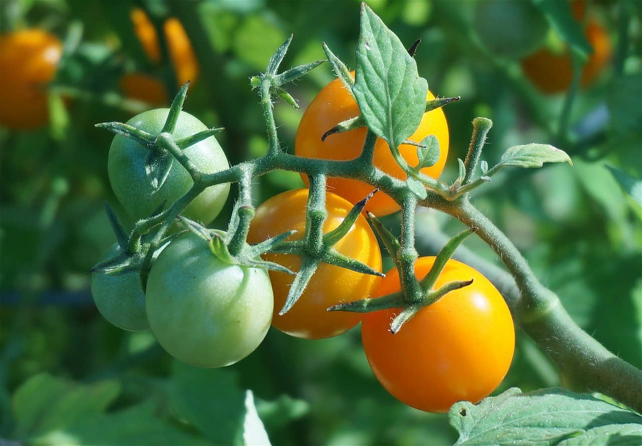 how to grow Golden Boy tomatoes