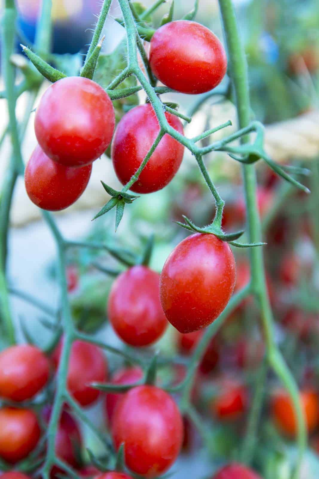 Growing Amish Paste tomatoes