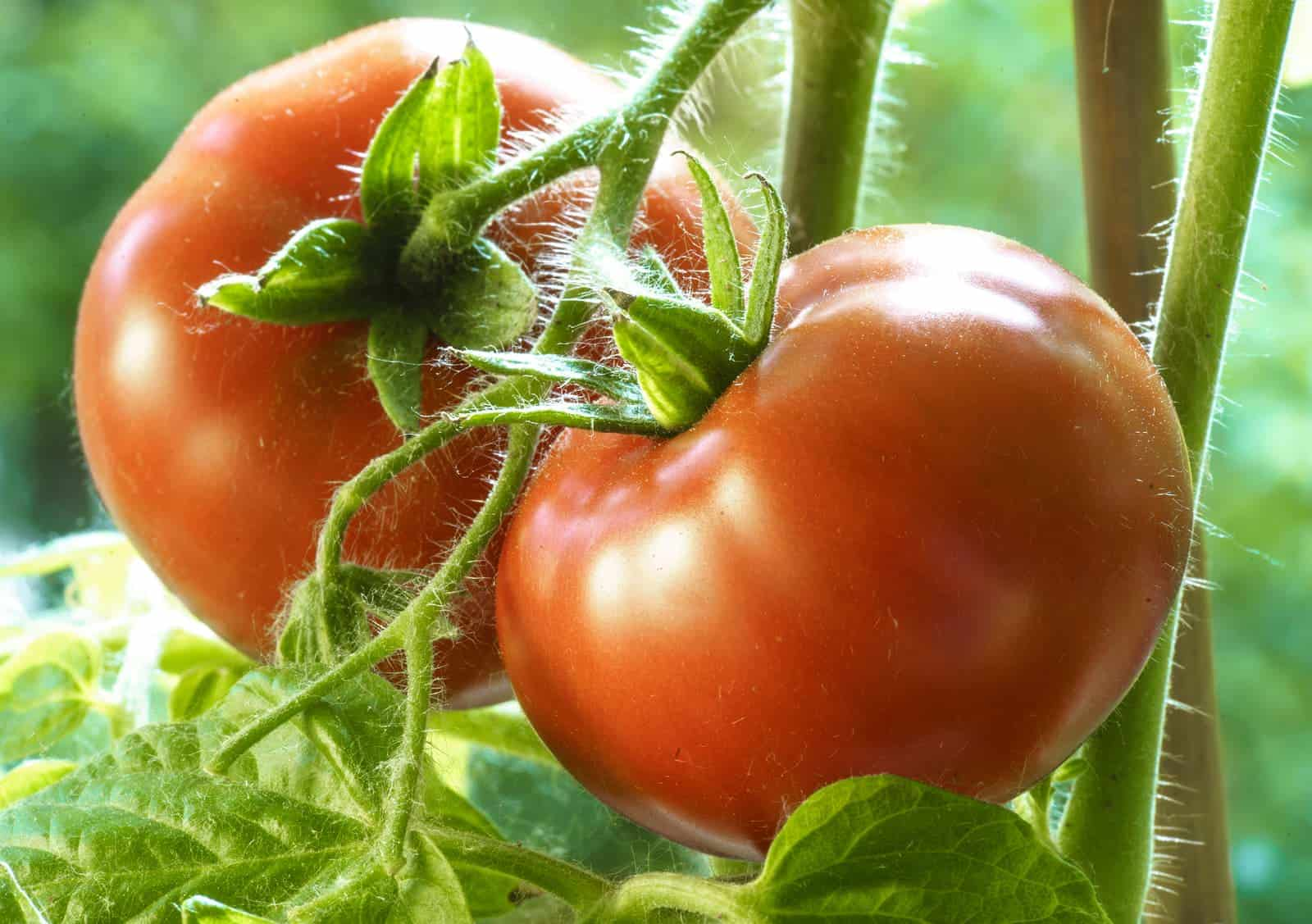 Tomatoes for hot climates